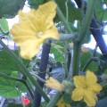キュウリの花 … 8月18日15時39分