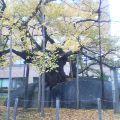 紅葉石割り桜 …11月1日13時45分