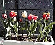 チューリップ…菜園 <br />  3月18曰11<br />  時58分