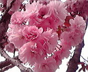 八重桜…弘前土手町 4<br />  月29日15<br />  時15分