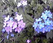 わすれな草… 5月3<br />  日16時48<br />  分