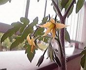 ミニトマトの花…午前1<br />  0時55分