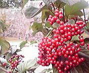 赤い実…岩手公園前 10<br />  月9日午前10時<br />  06分