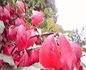 赤い葉…盛岡内丸午前10時<br />  50分