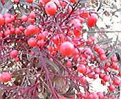 赤い実…紫波 11<br />  月23日午前<br />  11時21分