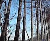 木立…小岩井付近 1<br />  月18日午前<br />  9時37分
