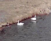 2羽の白鳥…盛岡中津川河原3<br />  月12日13<br />  時31分