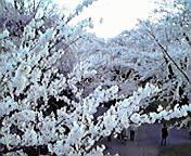 桜満開…北上展勝地 4<br />  月18日午後<br />  5時59分