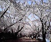 桜のトンネル…弘前公園 4月29<br />  日午前8時4<br />  9分