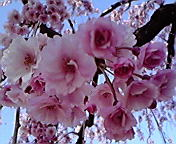 桜…弘前公園 4<br />  月29日午前<br />  8時7分