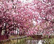 八重桜…盛岡内丸 5<br />  月4日午前1<br />  1時19分