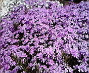芝桜…紫波 5月<br />  6日午前11<br />  時01分