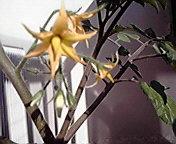 ミニトマトの花… 5月15<br />  日午前7時0<br />  7分