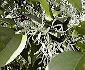 ナンジャモンジャの白い花…盛岡内丸5月25<br />  日午前10時<br />  26分