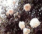 白い薔薇…盛岡大通午前1<br />  1時51分