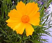 黄色い花…紫波午後14時<br />  27分