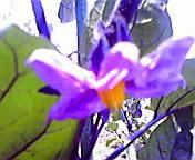 茄子の花…紫波 <br />  13時26分