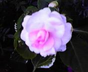 ピンクのバラ…マリオス前 6月<br />  6日13時55<br />  分