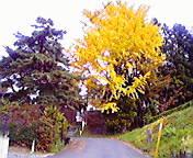 イチョウの木…東和町 <br />  10月24日午前10時<br />  49分