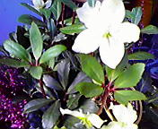 クリスマスローズ…盛岡菜園 12月17<br />  日14時02<br />  分