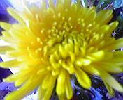 菊の花…1月5日