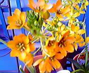 オーニソガラム…盛岡菜園 3月30<br />  日13時06<br />  分