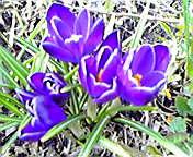 クロッカス…紫波 <br />  4月3日14<br />  時00分