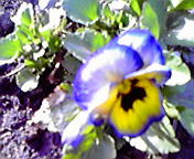 パンジー…紫波 <br />  4月11日15<br />  時16分