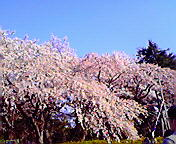 桜満開…仙台榴ヶ岡公園 4<br />  月25日15<br />  時30分