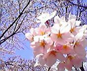 桜満開…岩手公園 5<br />  月3日午前9時1<br />  5分
