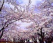 桜満開2…岩手公園 5月3<br />  日午前9時1<br />  6分
