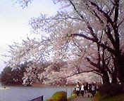 桜満開4…盛岡高松の池 5月<br />  4日16時18<br />  分
