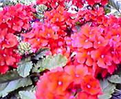 バーベナ…盛岡菜園 5月14<br />  日16時05<br />  分