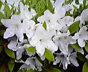 白ツツジ…盛岡菜園 5月25<br />  日午前7時5<br />  5分