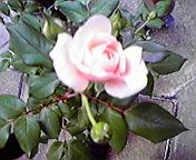 薔薇…盛岡菜園 6<br />  月8日14<br />  時57分