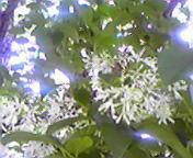 なんじゃもんじゃの花…盛岡内丸 6月10<br />  日午後12時<br />  55分