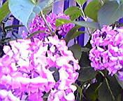 紫陽花…盛岡大通 7<br />  月4日14<br />  時07分