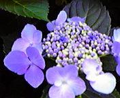 紫陽花2…盛岡菜園 7月4<br />  日14時09<br />  分