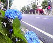紫陽花…開運橋付近 7<br />  月15日13<br />  時38分