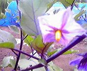 ナスの花…紫波 <br />  7月18日午前11時<br />  07分