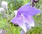 桔梗…紫波 7月<br />  24日