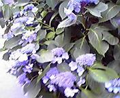紫陽花…盛岡菜園 7<br />  月25日午後<br />  12時20分