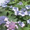 紫陽花 … 盛岡・下の橋付近 22日