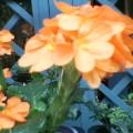 クロサンドラ …かがり火と言う名の花