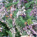 花の名はカルーナ…盛岡菜園14時