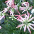 花の名はエリカ…盛岡菜園10月17日