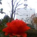 赤い薔薇…盛岡中ノ橋通12時16分
