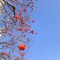 青い空 赤い実…中央通り11時9分