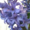 ヒヤシンス… 蒼色優しく咲き香り満ち