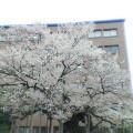 石割桜 …盛岡裁判所前 13時48分